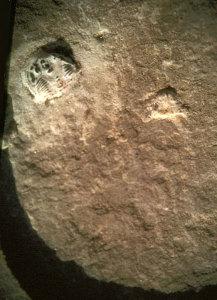 impronta2-217x300 Un'impronta di 500 milioni di anni?